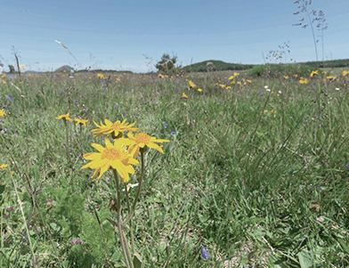Quali sono le proprietà dell'Arnica montana?