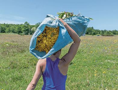 Le piante di Arnica montana utilizzate per la produzione di Arnicrème sono piante fresche?